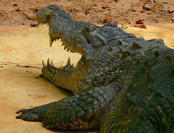 Crocodile Line Physical Exotic Unusual Animal Coun