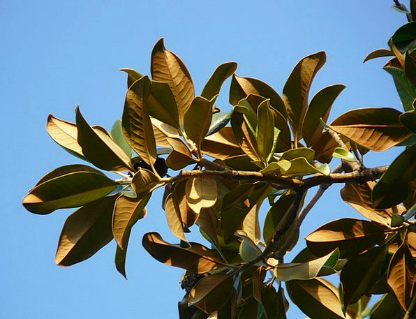 Magnolia Leaves Sapling Leaves Greeneries Tree Mag