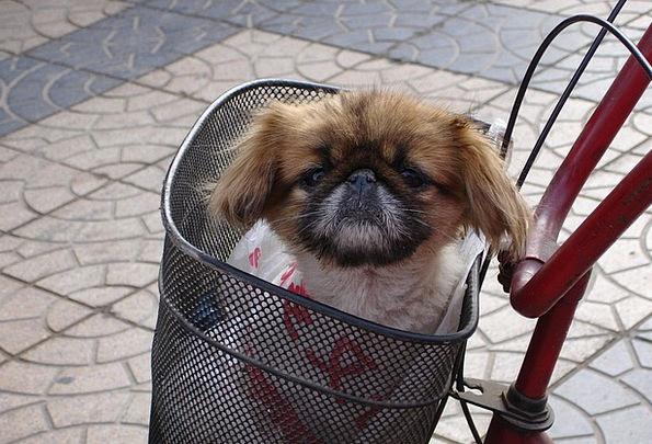 Dog Canine Animal Physical Pekinese