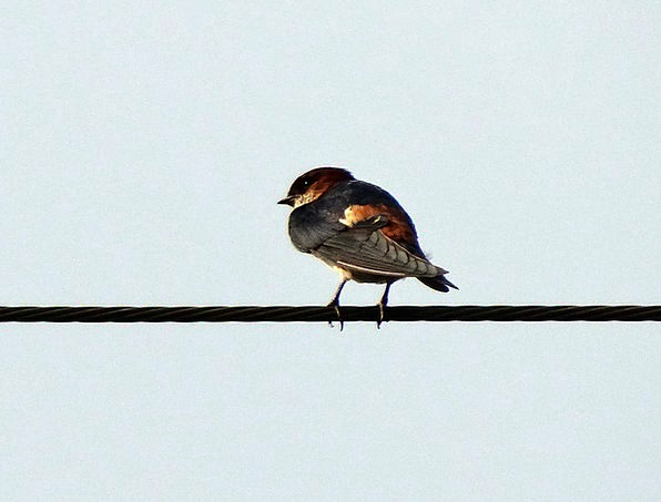 Indian Cliff Swallow Fowl Swallow Gulp Bird Hirund