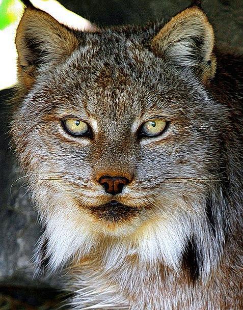 Lynx Physical Eyes Judgments Animal Hair Mane Cat