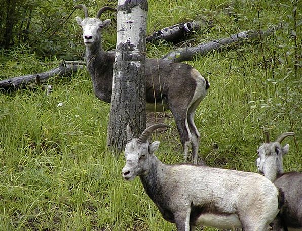 Mountain Sheeps Physical Nature Countryside Animal