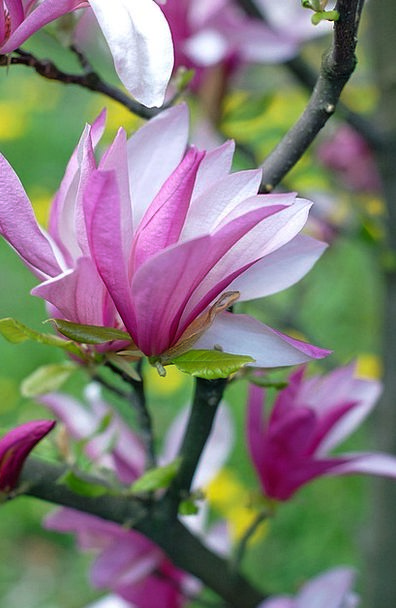 Pink Flushed Snowy Magnolia White Garden Plot Flow