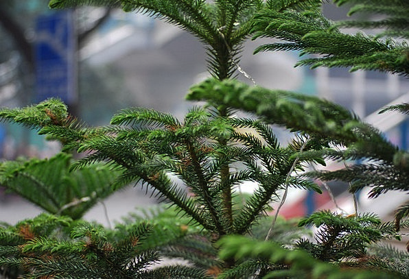 Tree Sapling Landscapes Long Nature Norfolk Pine N