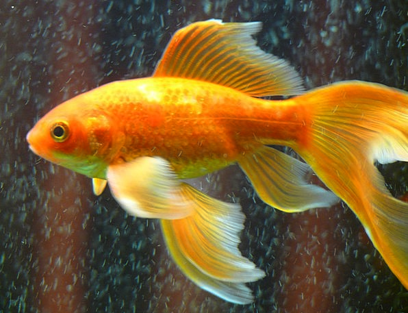 Veiltail Angle Goldfish Fish Fin Swim Dip Yellow A