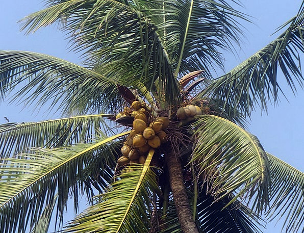 Palm Tree Coconut Palm Leaves Palm Tribute Cocos N