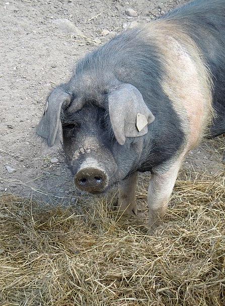 Pig Glutton Beef Animal World Livestock