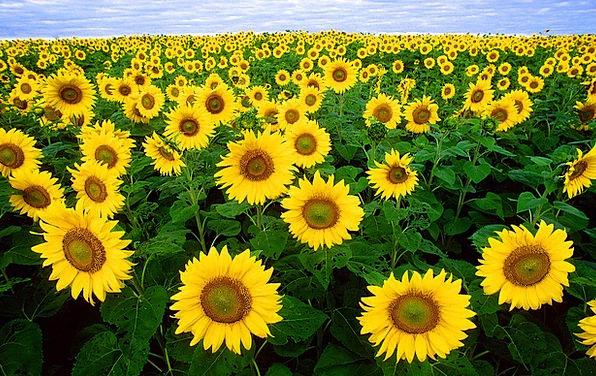 Sunflower Flora Vegetation Sunflower Field Field A