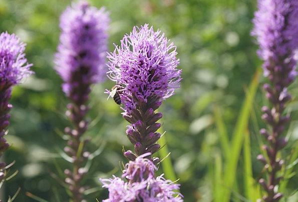Veronica Floret Honorary Award Flower Purple Elabo