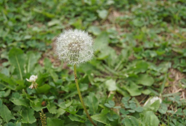 Dandelion Spores Bacteria Hotssi