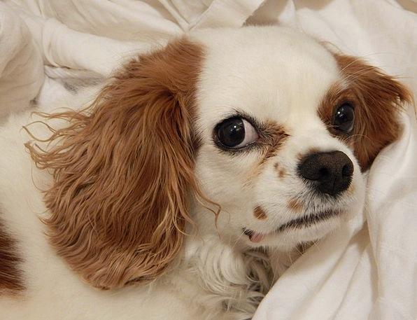 Dog Brat Doggy Pooch Puppy Pedigree Pup Upstart Ki