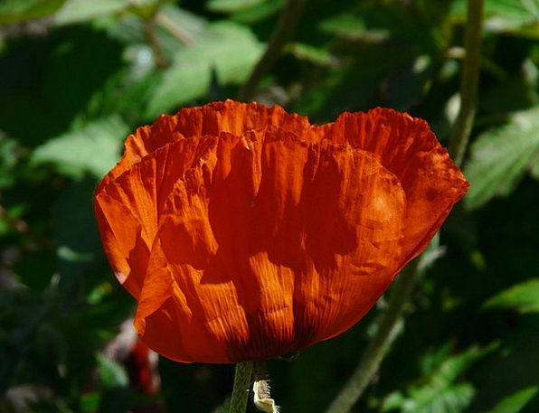 Klatschmohn Flower Floret Poppy Pretty Back Light