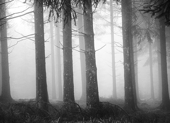 Fog Mist Landscapes Woodland Nature Tree Trunks Fo