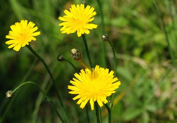 Dandelion Landscapes Wildflower Nature Flower Flor