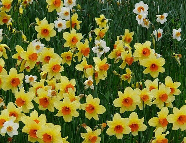 Daffodils Creamy Osterglocken Yellow Flowers Plant