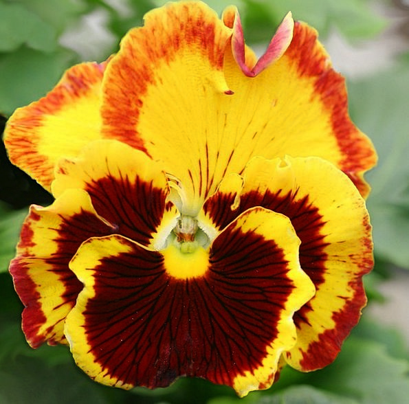 Pansy Landscapes Nature Macro Photography Garden P