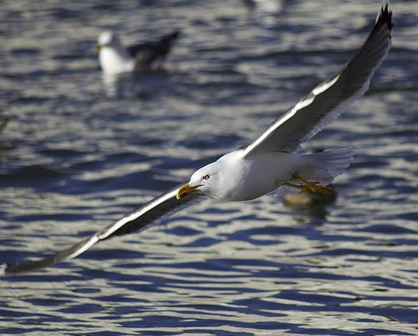 Seagull Fowl Flying Hovering Bird Water Aquatic Wi