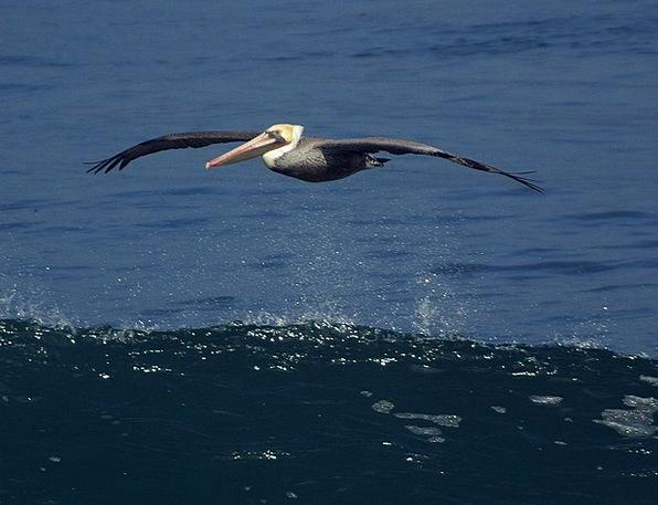 Pelikan Fowl Nature Countryside Bird Animals Fauna