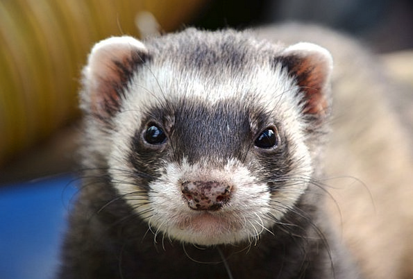 Ferret Search Physical Eyes Judgments Animal Close