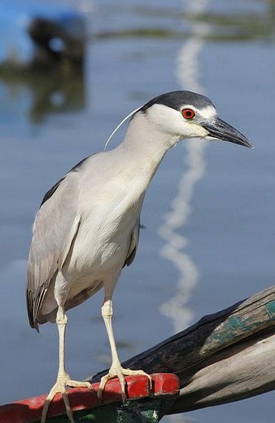 Heron Fowl Night Heron Bird Nycticorax Black-Crown