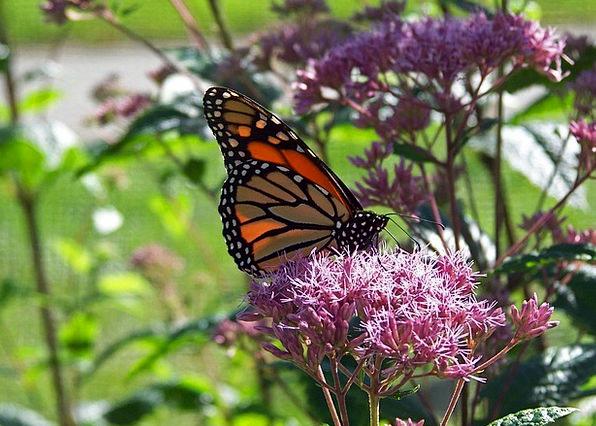 Butterfly Ruler Flower Floret Monarch Summer Insec