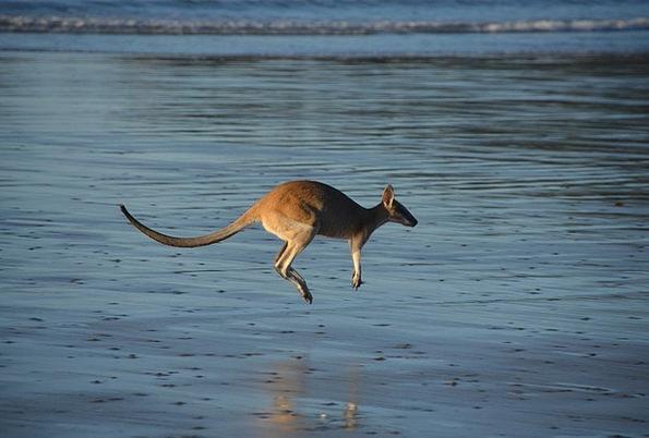Kangaroo Jerk Water Aquatic Marsupial Jump Hurdle