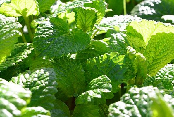 Mint Perfect Green Lime Lemon Balm Kitchen Herb
