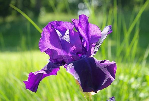Iris Floret Dark Purple Flower Iris Variegata Viol
