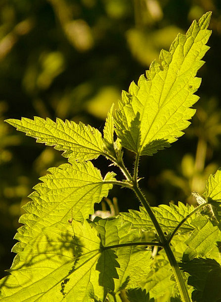 Stinging Nettle Landscapes Lime Nature Plant Veget