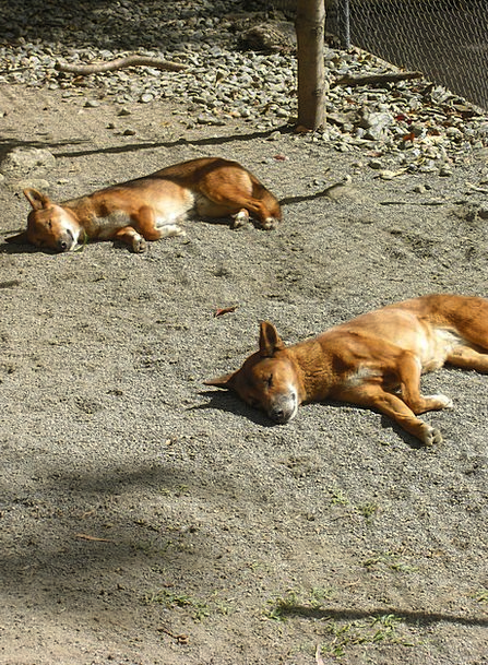Sleeping Asleep Sleepy Drowsy Dingo Dog Canine Zoo