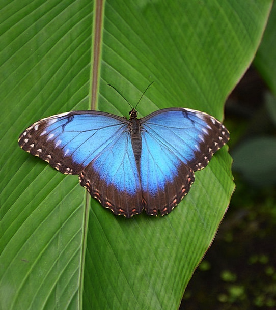 Butterfly Hot Blue Azure Tropical Bright Cheerful