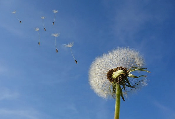 Dandelion Landscapes Blue Nature Flower Floret Sky