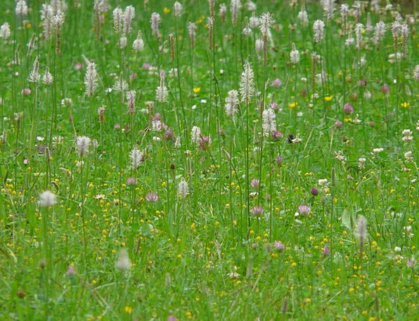 Wild Flower Meadow Landscapes Field Nature Hoary P
