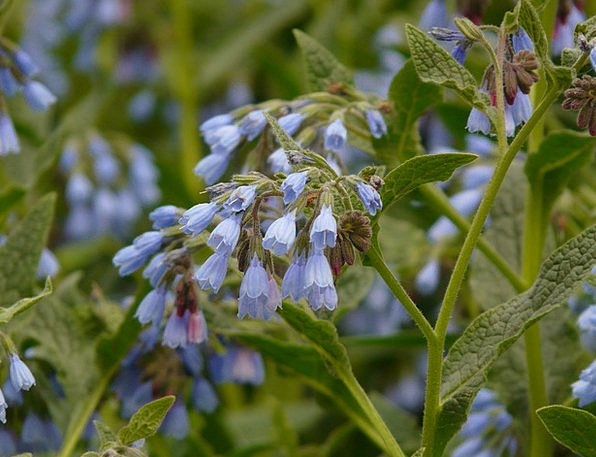 Rough Comfrey Landscapes Floret Nature Blue Azure