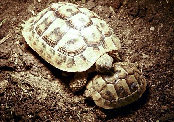 Turtle Horn Siren Panzer Animal Physical Reptile S