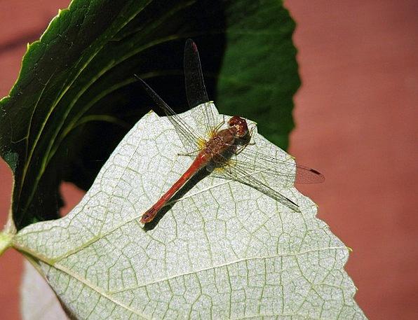 Dragonfly Bug Germ Dragonflies Butterflies Bugs Ge