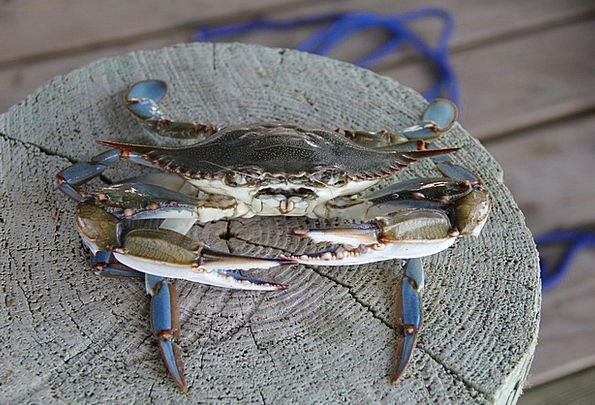 Blue Crab Louisiana Crab Grand Isle Pinchers Claws