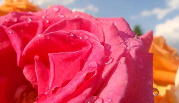 Rose Design Floret Petal Flower Blossom Floral Flo