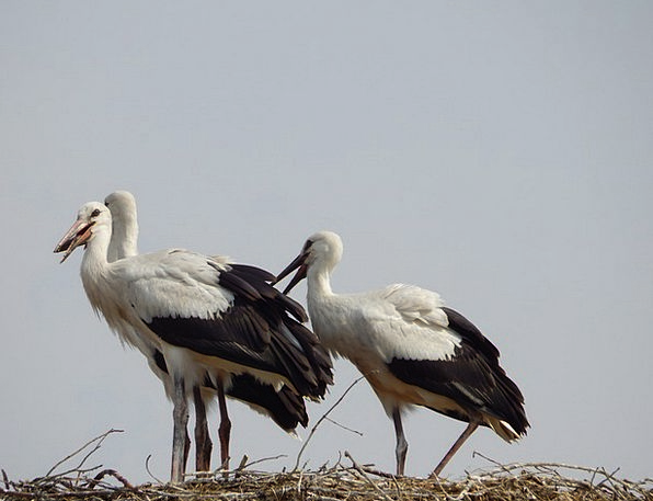 Storks Natures Young New Birds Socket Hole