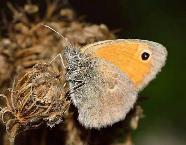 Butterflies Nerves Pamphilus Coenonympha