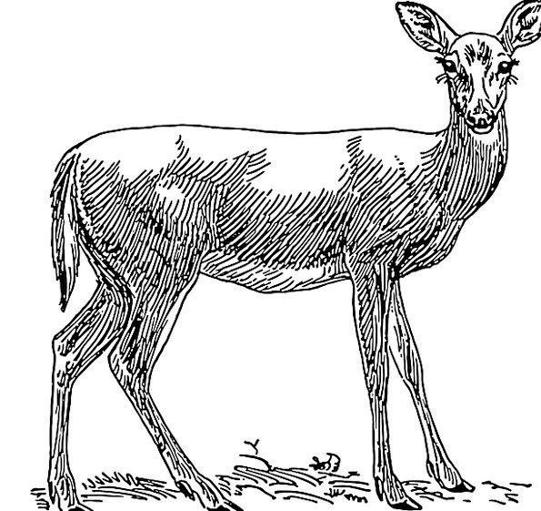 Female Feminine Grass Lawn Deer Free Vector Graphi