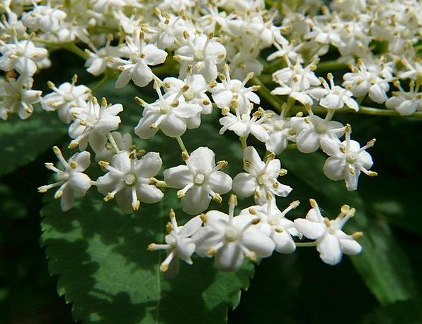 Flower Floret Snowy Black Elderberry White Elder H