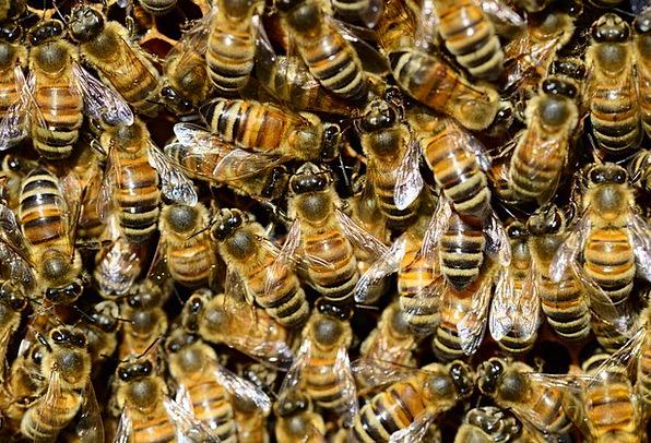 Honey Darling Water Aquatic Bee Macro Buckfast Bro