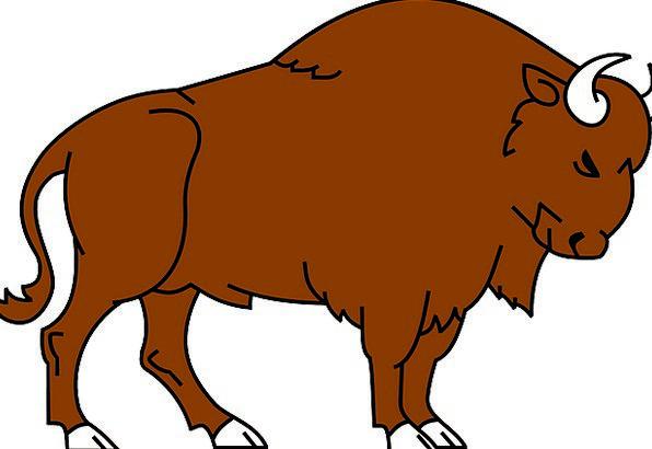 Bison Physical Wild Rough Animal Grassland Buffalo