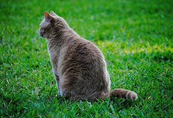 Cat Catlike Pet Domesticated Feline Grass Lawn Ani