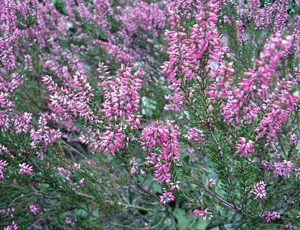 Pink Flushed Moorland Heath Heather