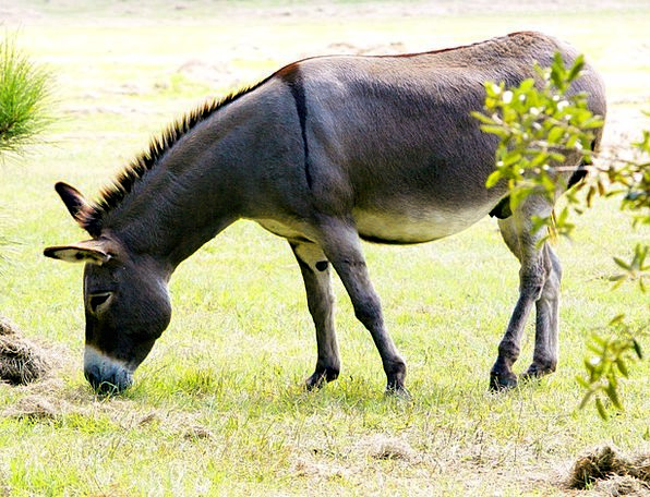 Donkey Grey Dun Ass Jack Knave Male Equus Africanu