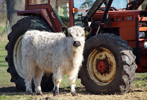 Calf Farmhouse Farm Animals Livestock Farm Agricul