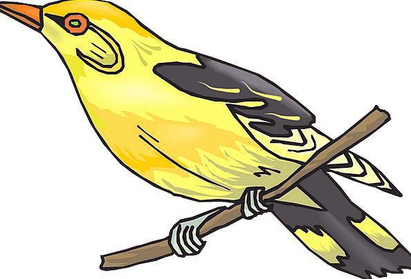 Golden Oriole Creamy Bird Fowl Yellow Branch Divis