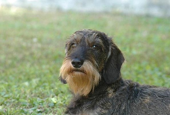 Dog Canine Beard Goatee Dachshund